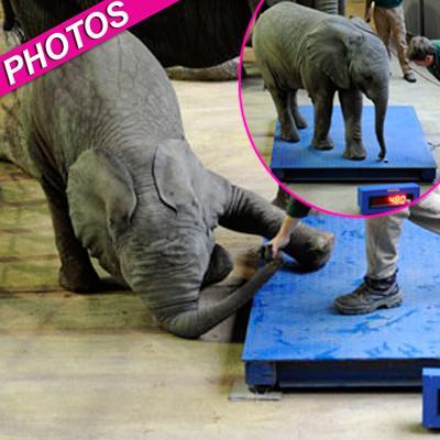 //elephant baby scale landov