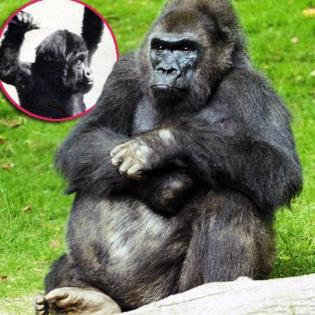 //pattycake gorilla dead