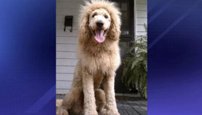 //lion dog labradoodle