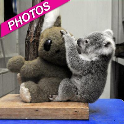 //koala bears cute play landov