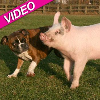 //boxer dog pig friends caters news
