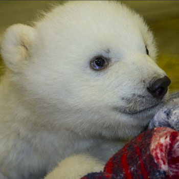 //baby polar bear needs home john gomesalaska zoo photo