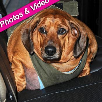 //obie fat dachshund today