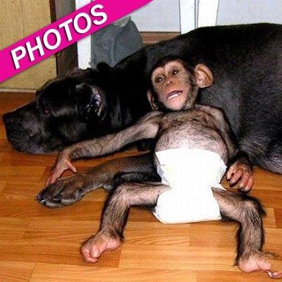 //mastiff dog adopts chimpanzee zuma