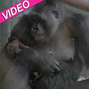 //baby gorilla video chicago zoo debut