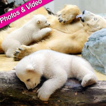 //polar bear landov
