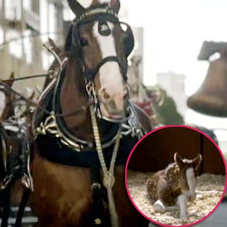 //clydesdale horse ad nc