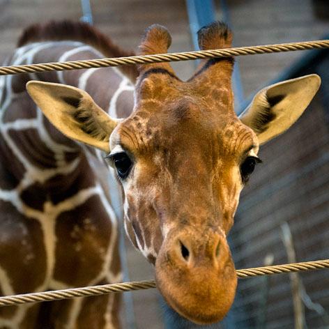 //marius_giraffe_copenhagen_zoo