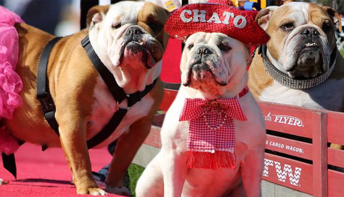 //bulldog beauty pageant justin rudd