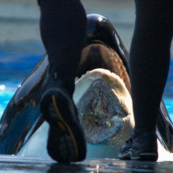 //hurt killer whale peta