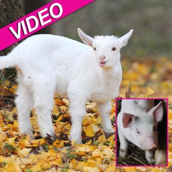 //pig saves goat landov