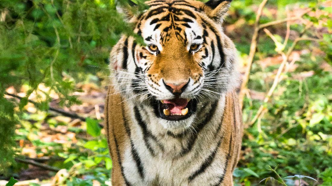 Sumatran Tiger Sanjiv Attacks Zookeeper
