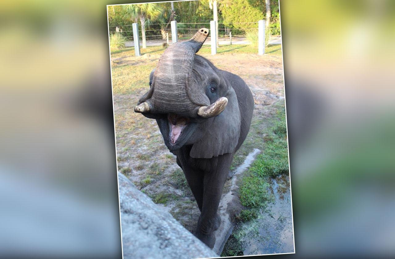 Michael Jackson Elephant Escapes Florida Zoo