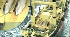 //anti whaling group sea shepherd filmed japanese whale poaching fleet