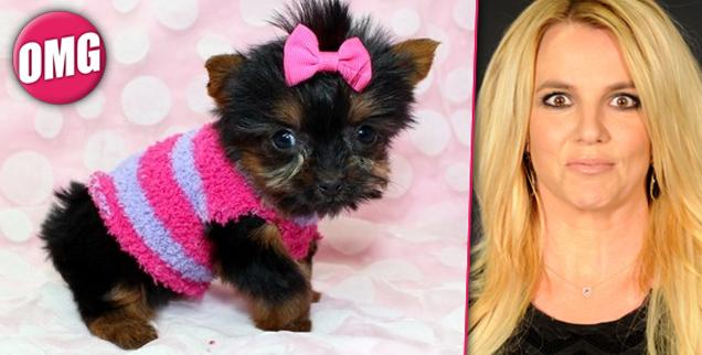 //britney spears shops k micro teacup yorkie puppy wide